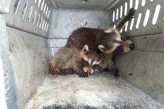 raccoon-kits