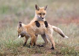 young-fox